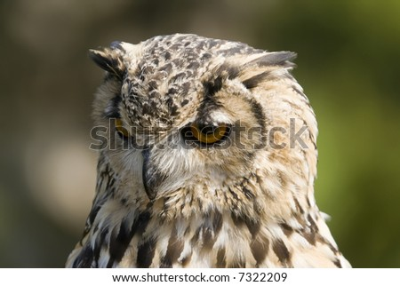 Bengal Eagle Owl (Bubo Bubo Bengalensis) - landscape orientation - stock photo