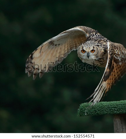 Bengal Eagle Owl in flight - stock photo