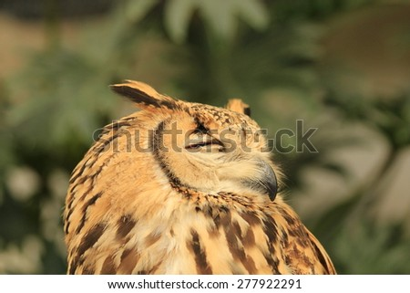 Bengal Eagle Owl with eyes closed. - stock photo