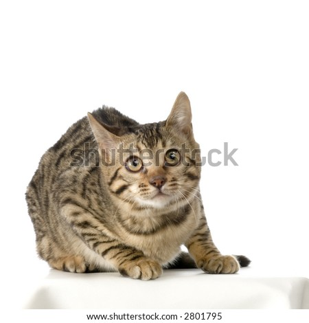 Bengal in front of a white background