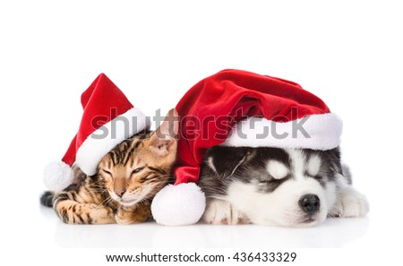 Bengal kitten and Siberian Husky puppy sleeping together in santa hats. isolated on white background