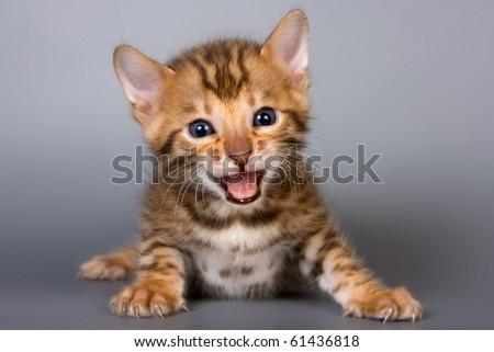 Bengal kitten on grey background - stock photo