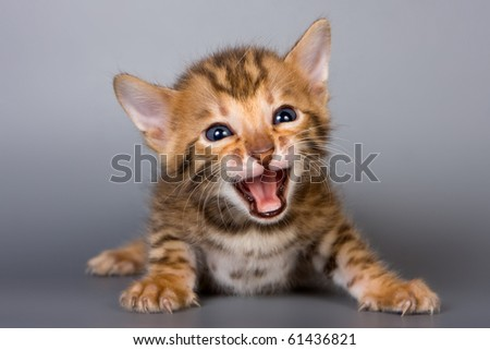 Bengal kitten on grey background - stock photo