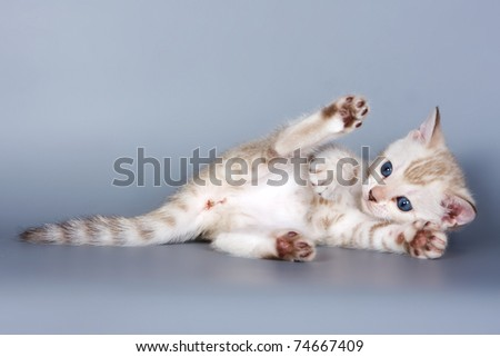 Bengal kitten on grey background