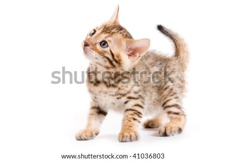 Bengal kitten on white background - stock photo