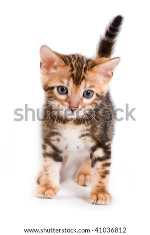 Bengal kitten on white background