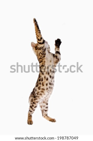 Bengal kitten reaching up with paw extended isolated on white background - stock photo