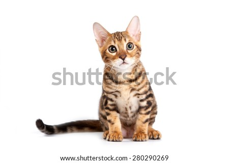 Bengal kitten sitting and looking at the camera (isolated on white) - stock photo