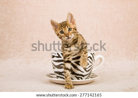 Bengal kitten sitting inside large cup decorated with zebra stripes on beige background  - stock photo