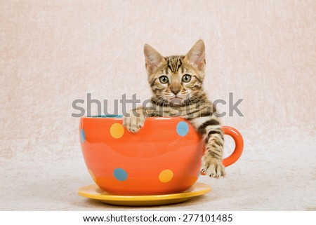 Bengal kitten sitting inside large cup with polka dot design on beige background