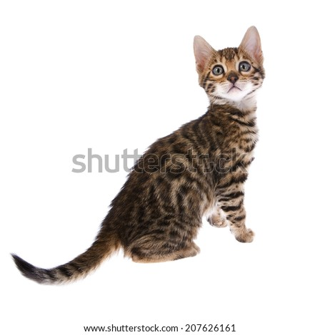 Bengal kitten sitting isolated on background