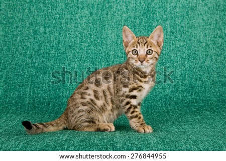 Bengal kitten sitting on green background  - stock photo