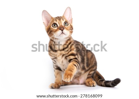 Bengal kitten sitting with paw raised and looking up (isolated on white)