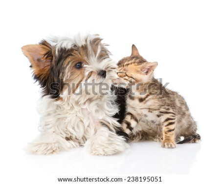 Bengal kitten sniffing Biewer-Yorkshire terrier puppy. isolated on white background - stock photo