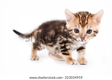 Bengal kitten standing and looking at the camera (isolated on white)