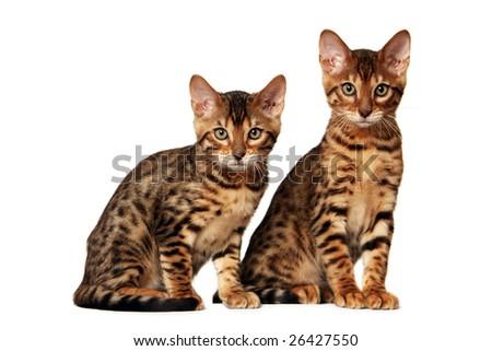 Bengal kittens - stock photo