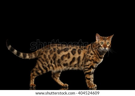 Bengal Male Cat Walking on Black Isolated Background and Looking in Camera, Side view - stock photo