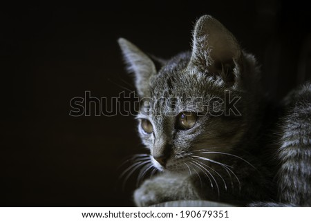 Bengal, Short, Hair,cat - stock photo