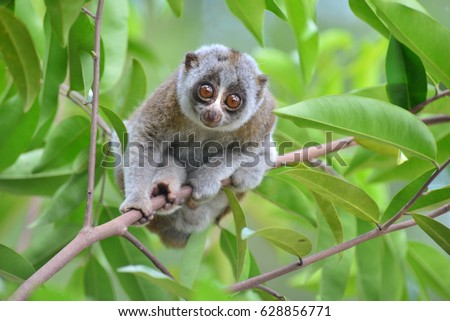 bengal slow loris reasons for endangerment I am a wildlife biologist and biodiversity conservationistcurrently working on bengal slow loris as principal researcher in bangladesh slow loris research and conservation project interested .