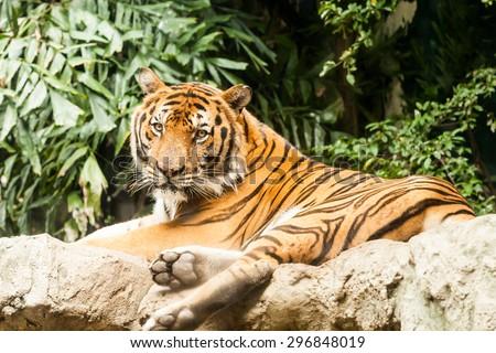 Bengal Tiger. - stock photo