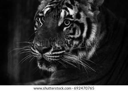 Bengal Tiger Beauty