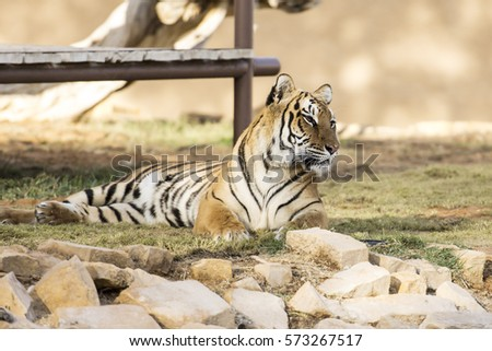 stock-photo-bengal-tiger-beg-for-no-atte