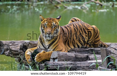 Bengal Tiger by the canal - stock photo