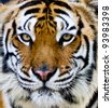 Bengal tiger face with eyes looking at the nature of the beast. - stock photo