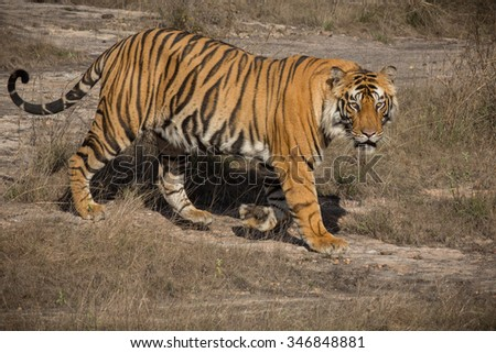 Bengal tiger from India - stock photo