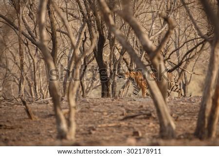 Bengal tiger from India/Tiger cub/Ranthambhore NP - stock photo