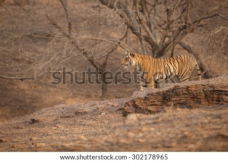Bengal tiger from India/Tiger cub/Ranthambhore NP - stock photo