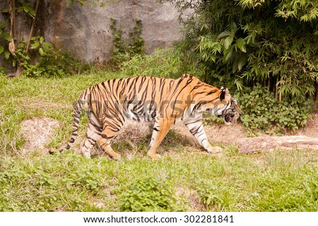 Bengal Tiger full length of body show striped skin.