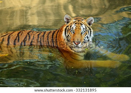 Bengal Tiger head on water  - stock photo