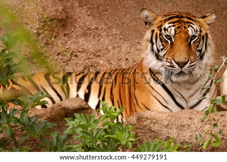 Bengal tiger in a zoo