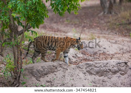 Bengal tiger in Bandhavgarh National Park, India - stock photo