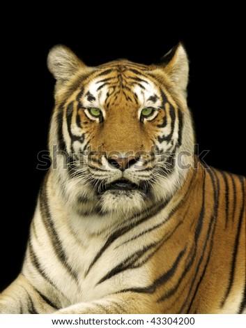 Bengal Tiger in Dark - stock photo