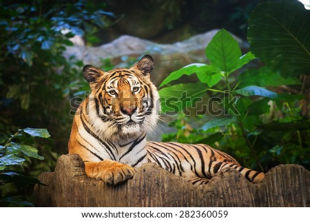 Bengal Tiger in forest show head and leg - stock photo