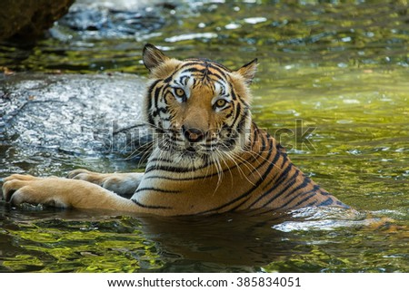 Bengal Tiger in water show head and leg