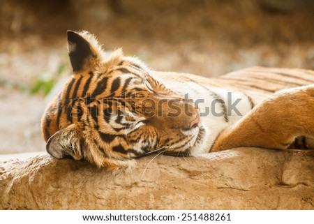 Bengal tiger is sleeping, and relax on timber under tree - stock photo