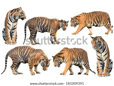 bengal tiger isolated collection on white background - stock photo