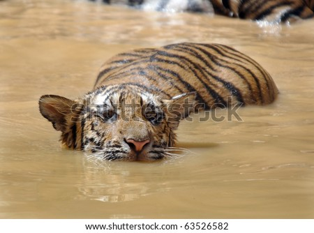 Bengal tiger juvenile male swimming in lake, thailand, south east Asia. Exotic big pussy cat in humid lush asian tropical country similar to lion leopard jaguar - stock photo