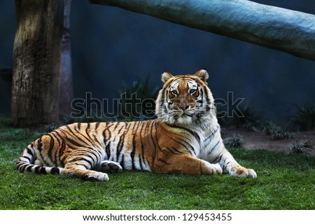 Bengal Tiger Laying on Grass - stock photo