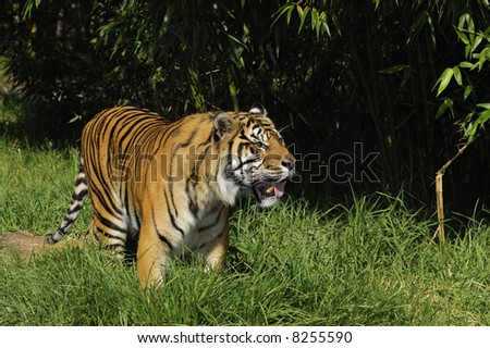 Bengal tiger on the prowl in the grass with bamboos in the background
