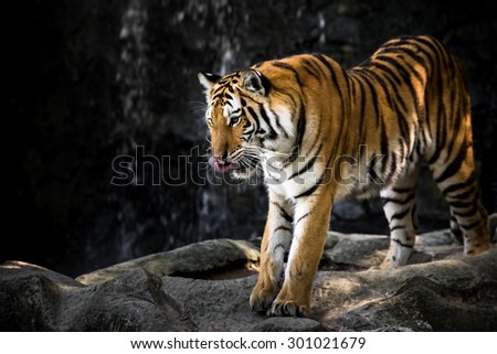 Bengal tiger on the rock.