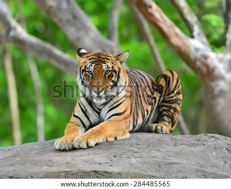 bengal tiger On the rocks