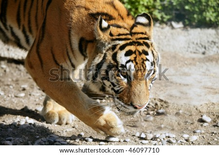 Bengal tiger outdoor portrait walking - stock photo