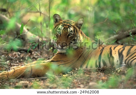 Bengal tiger ( Panthera tigris ) in national park of India