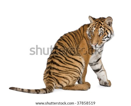 Bengal Tiger, Panthera tigris tigris, 1 year old, sitting in front of white background, studio shot