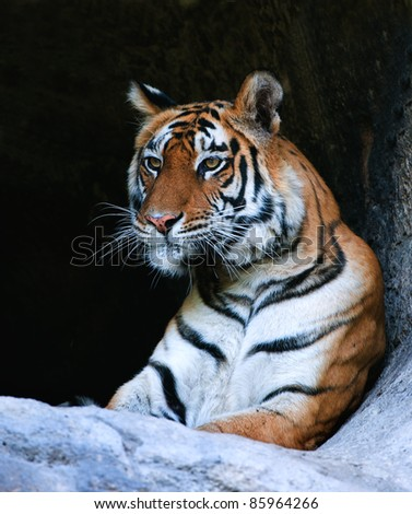 Bengal Tiger Portrait. Tiger portrait shot. Picture taken in  National Park, India - stock photo