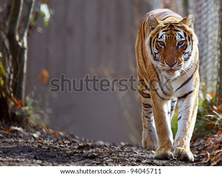 Bengal Tiger prowling at zoo with soft focus background - stock photo